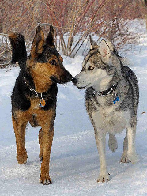 Husky And German Shepherd Meeting Cute Dogs Dogs Golden