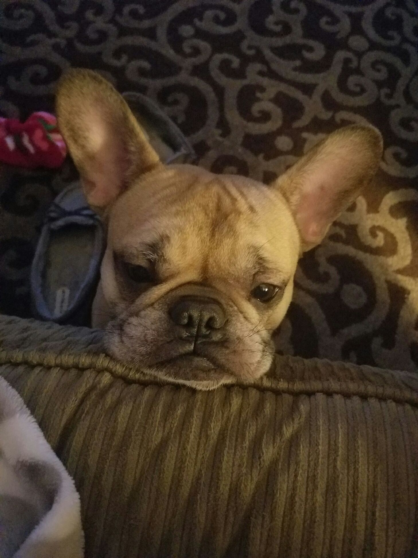 Look At The Rolls And Big Ears So Cute Bulldog French