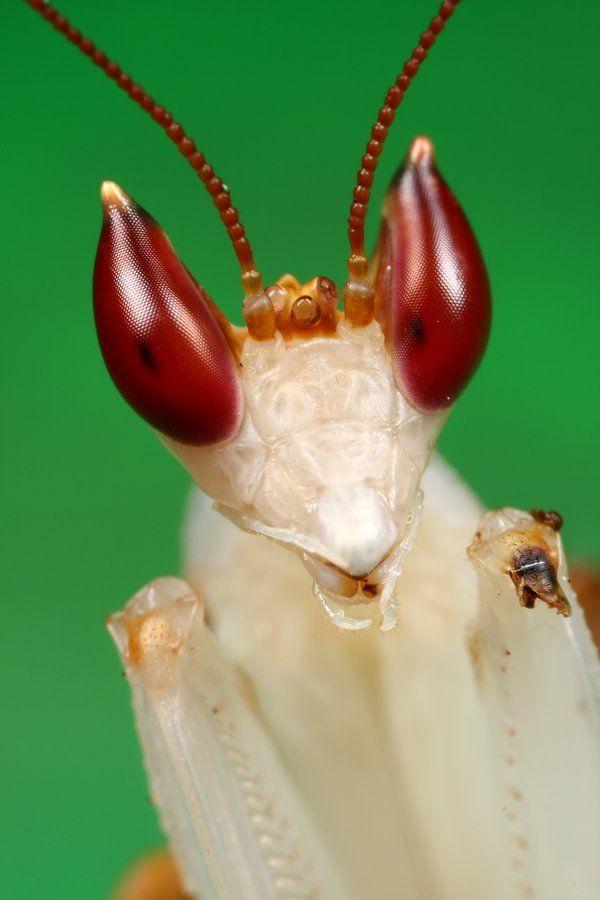B Orchid B B Mantis B Animal Eyes Pinterest Orchid