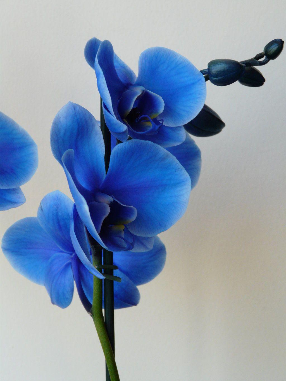 Blue orchid wallpapers hd wallpaper pinterest orchids