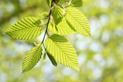 Image result for herbalgem birch