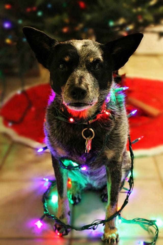 Christmas Blue Heeler Dog Obsessed Cattle Dogs Rule Cute Animals