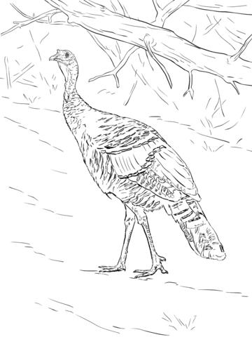 Pavo Salvaje Caminando en el Bosque Dibujo para colorear | pájaros y ...