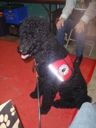 Sabrina The Standard Poodle Service Dog Dog Breeds Pictures