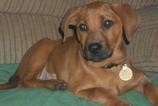 Adopt Candy On Humane Society Dogs Redbone Coonhound Humane Society