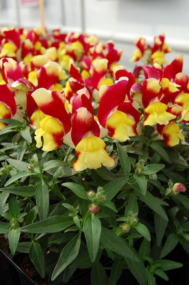 Snapdragon Flower Seeds Snappy Red & Yellow Snapdragon