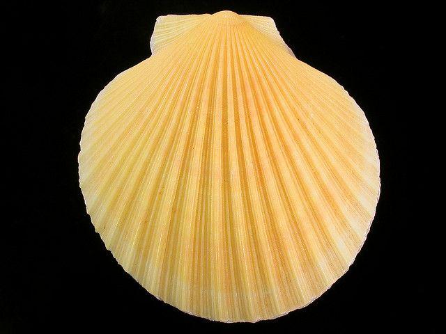 chlamys delicatula ������ shell