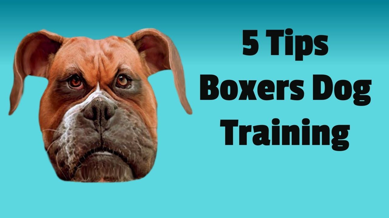 Cool boxer dog training basic tips to train your boxer