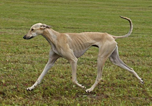 Sloughi Berber Greyhound Sloughi Moghrebi Arabian Sighthound Dogs Greyhound Dog Breed Rare Dog Breeds Sighthound