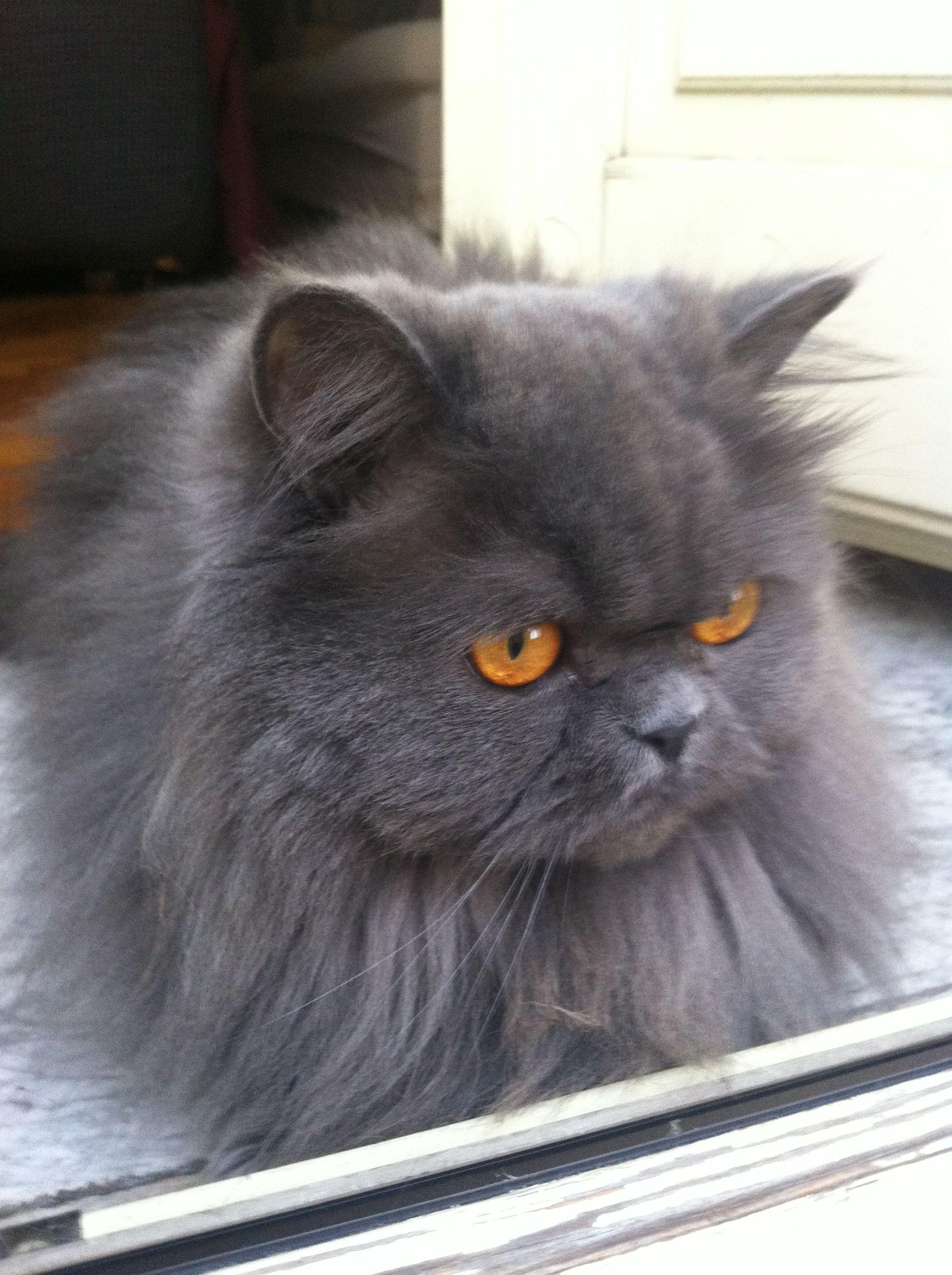 Persiano Blu Crema Lui è Marfy Gattini A Pelo Lungo Cats