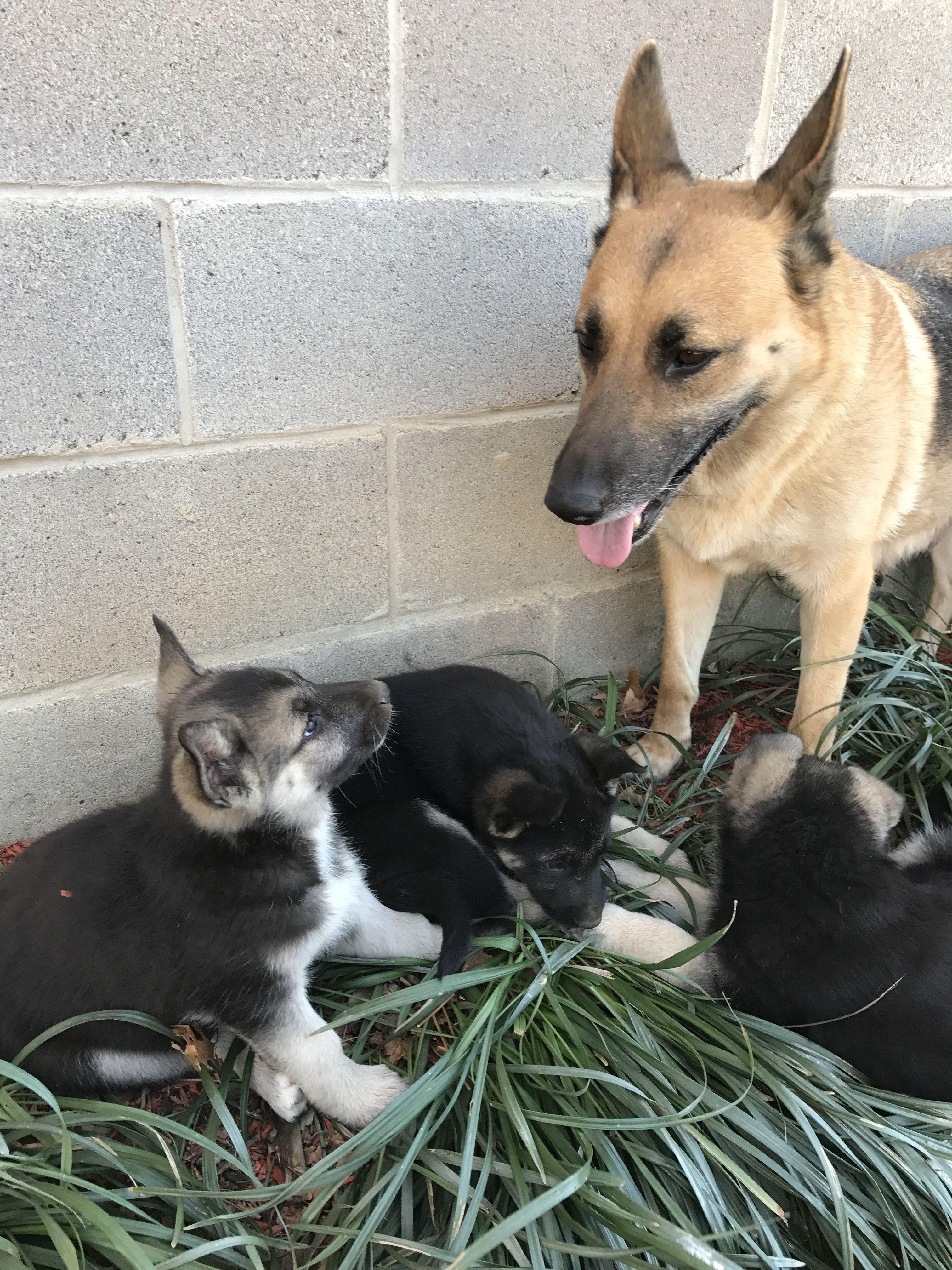 German Shepherd Puppies For Sale Hyattsville Md Germanshepherd