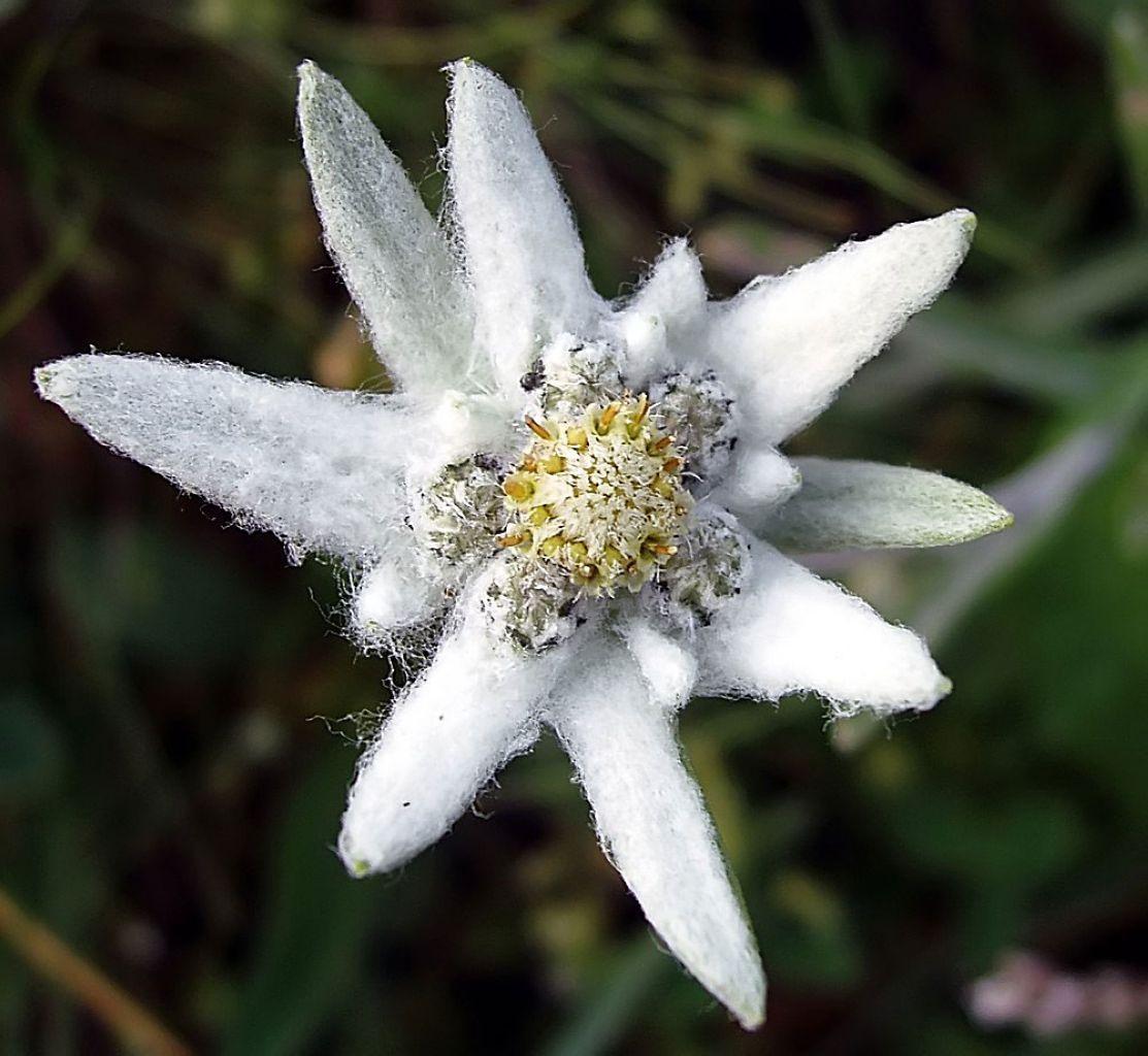 Leontopodium alpinum Floare