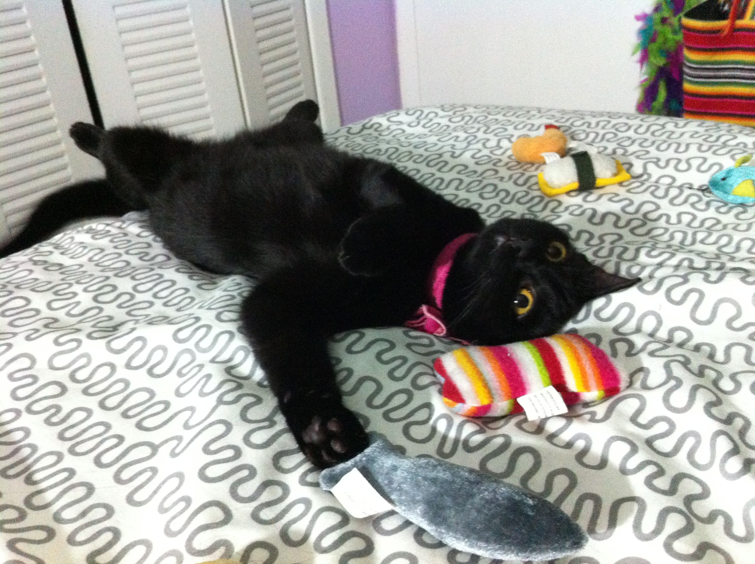 My Adorable Black Cat Shinobii Having Some Late Night Play Time Black Cat Cats Adorable
