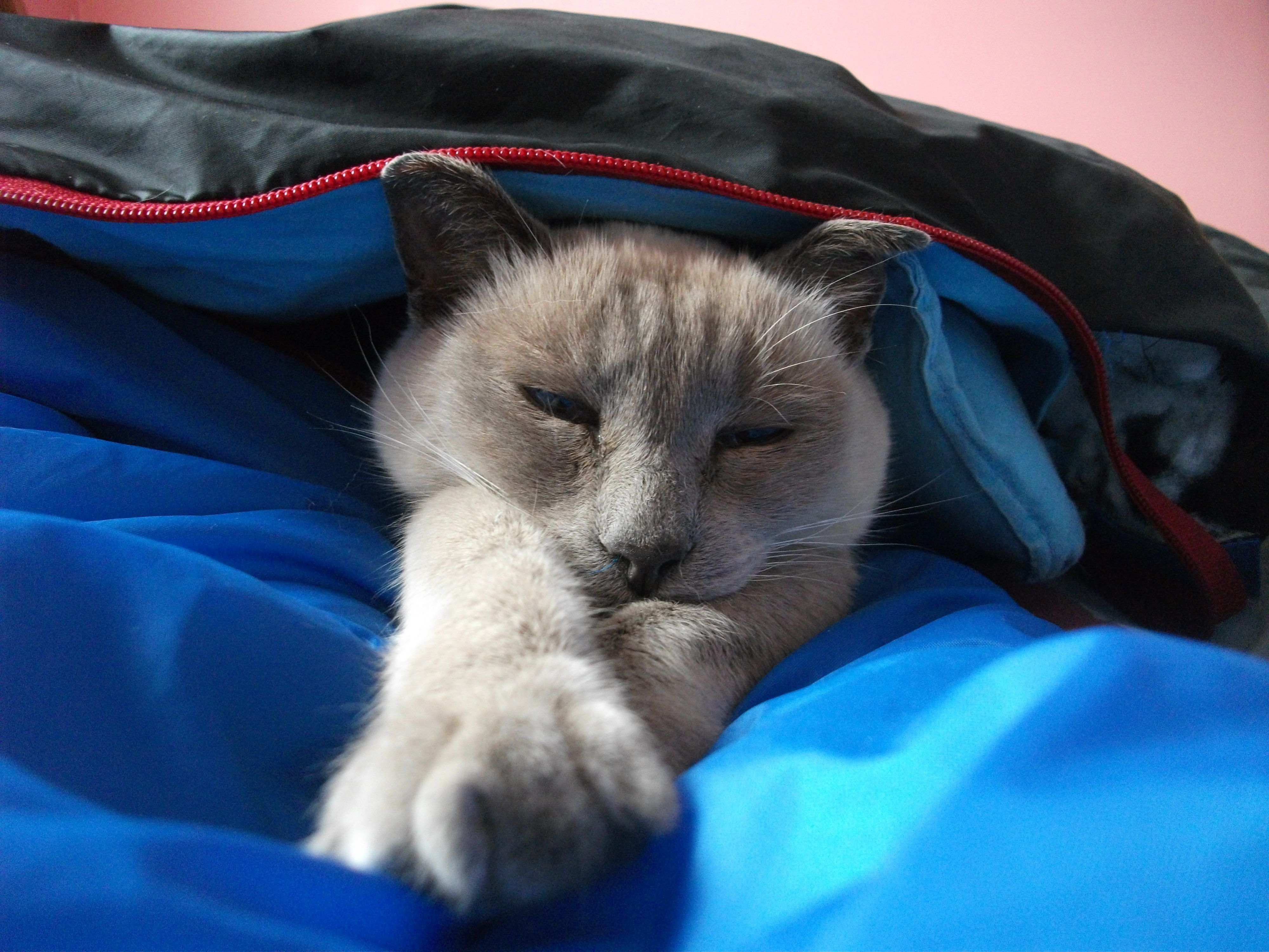 Our siamese cat Oiver. He has the gentlest personality