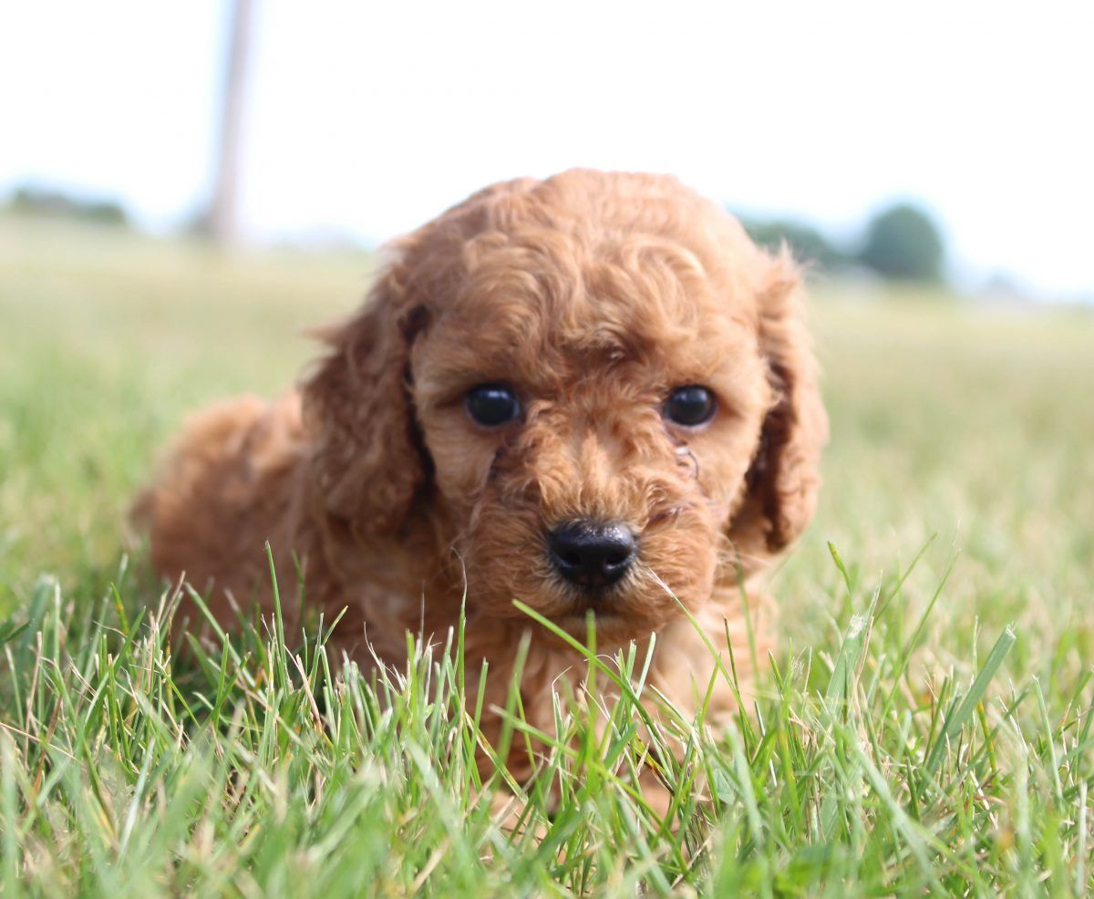 Poodle Minipoodle Poodlepuppies Puppiesforsale Puppies For Sale Labradoodle Puppies For Sale Labradoodle Puppy