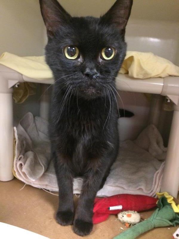 Lawrence Cat Adoption Animal Shelter Humane Society