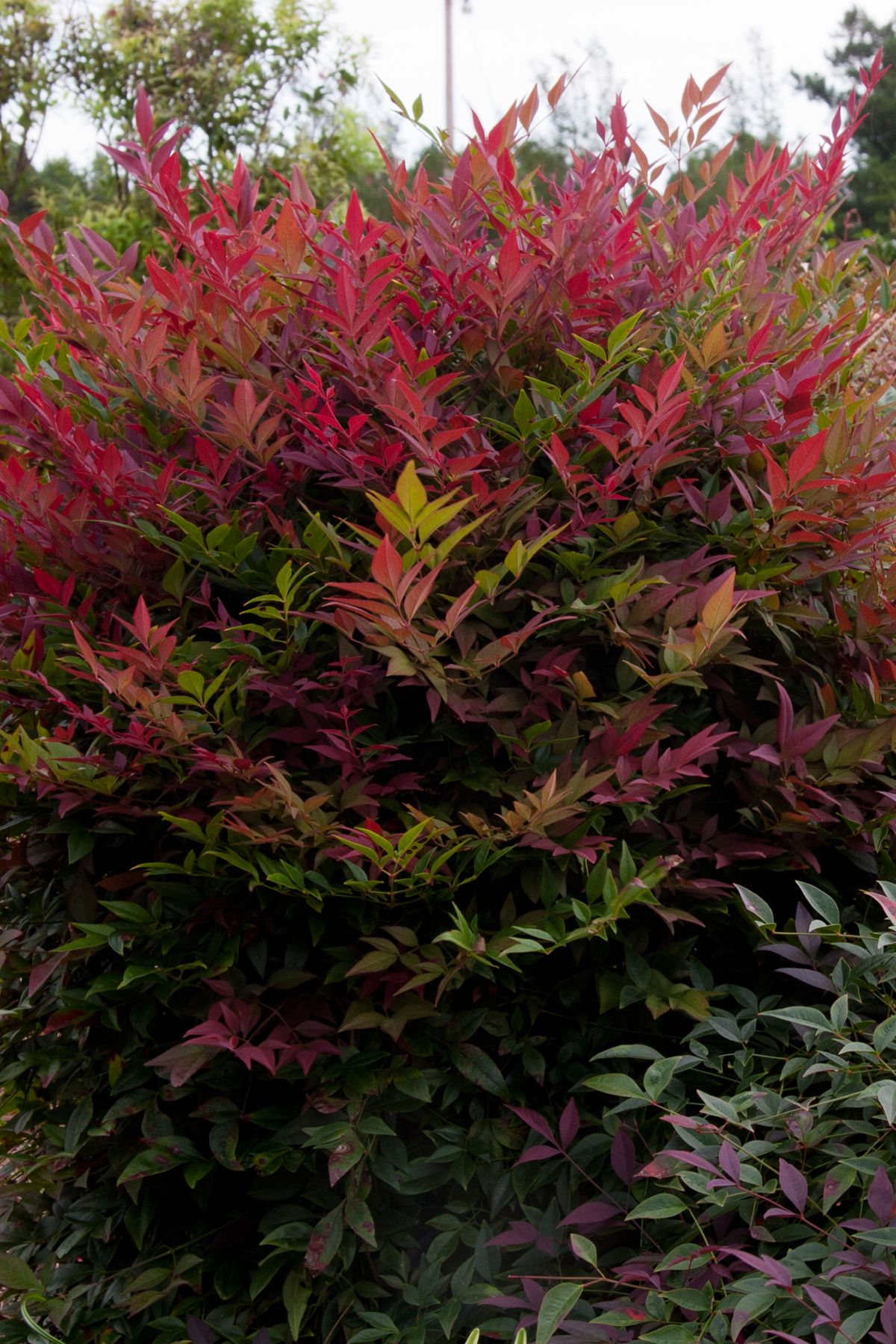 Nandina Obsession This New And Distinctive Nandina Is An Upright Compact Dense Grower With Brilliant Red New F Southern Living Plants Evergreen Shrubs Plants