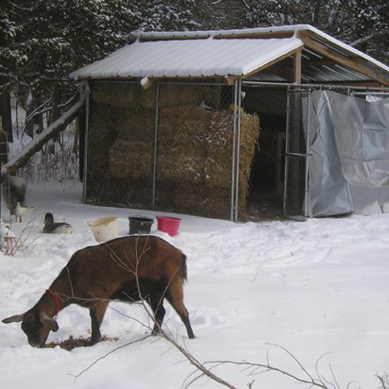 basic goat shelters for your homestead dairy herd - homesteading and
