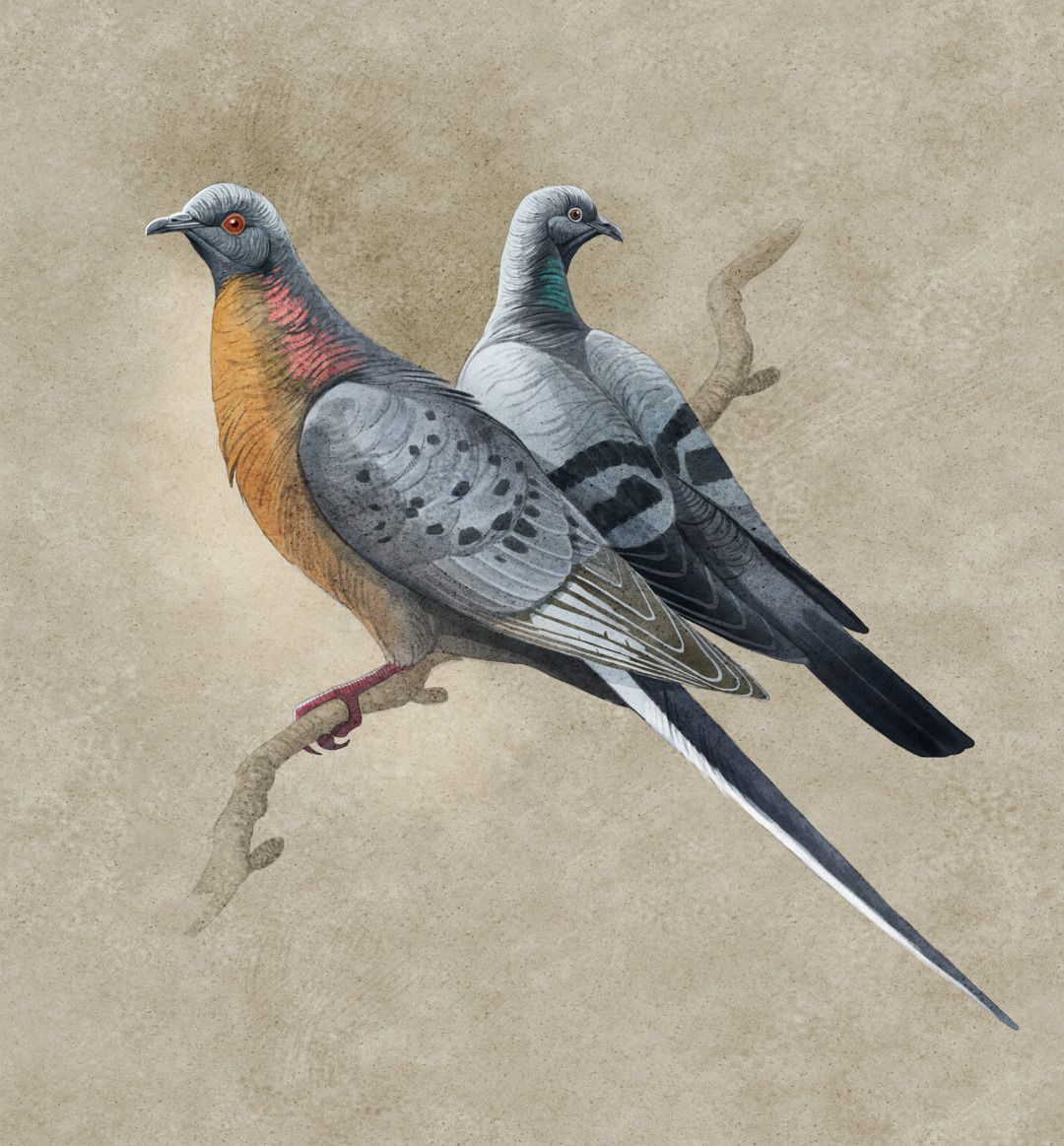 Paleoillustration passenger pigeon in 2020 De extinction