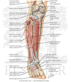 The peroneal nerve is a branch of the sciatic nerve, which supplies ...