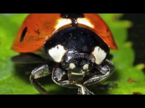 Release the Ladybugs! a Natural Way to Control Aphids in Your Garden - Mom with a PREP
