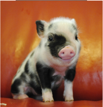 I Am NOT A Teacup Mini Nor Micro Pigs That STAY SMALL Do Exist