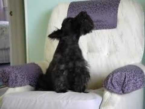 10 Things A Scottish Terrier Puppy Can Do Youtube Scottish