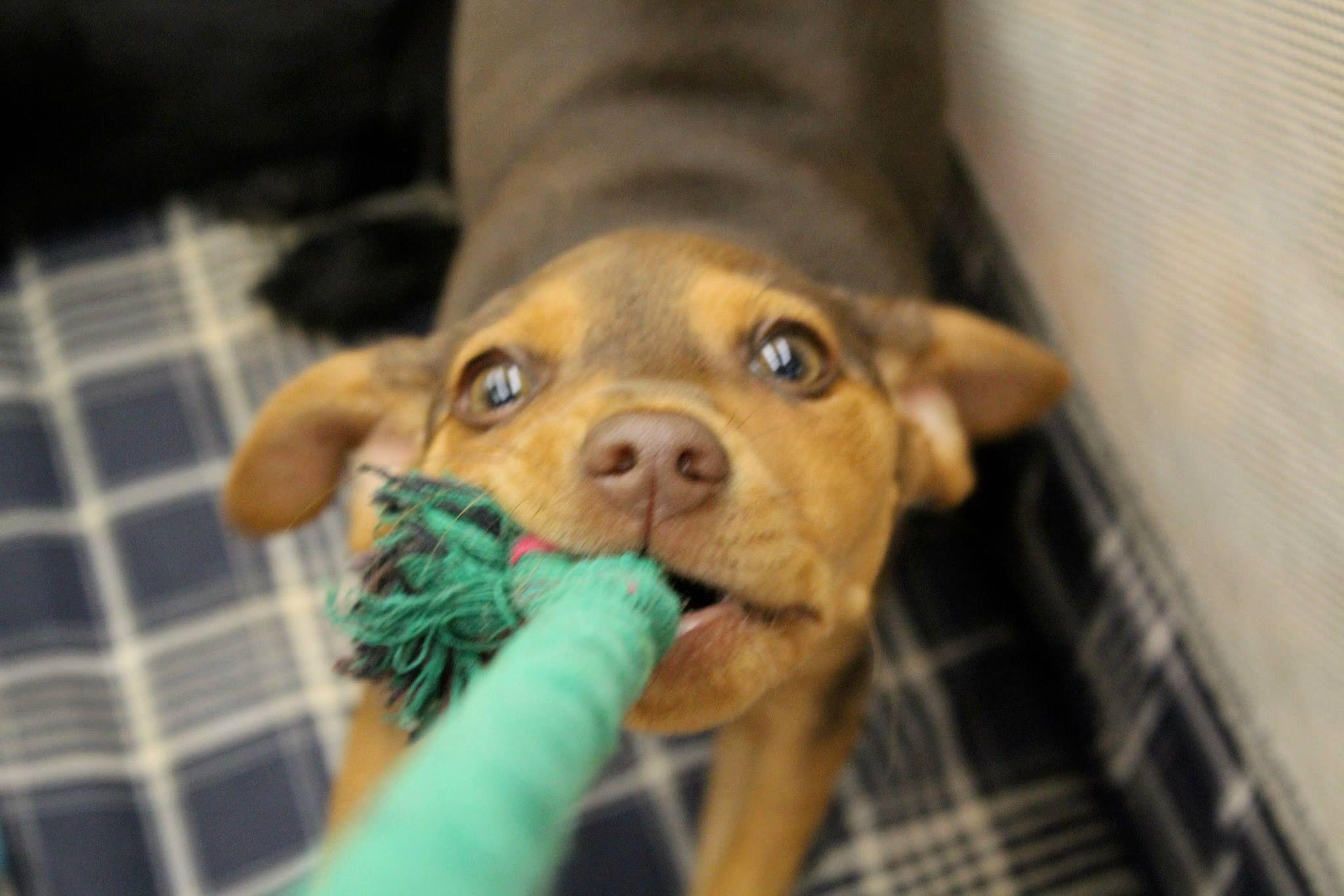 Rottweiler puppies nc adoption