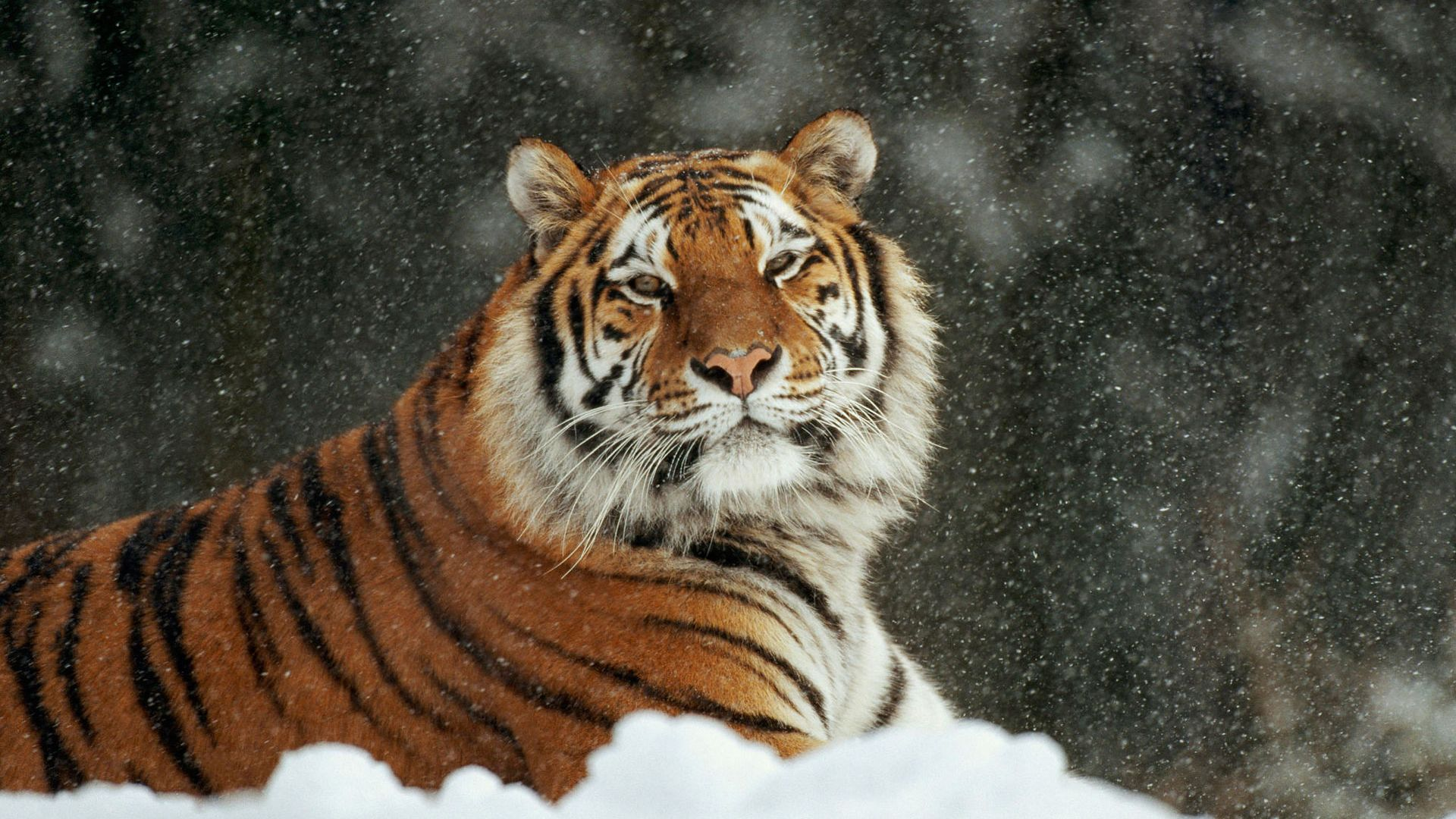 tiger full hd wallpaper desktop backgrounds free download | hd