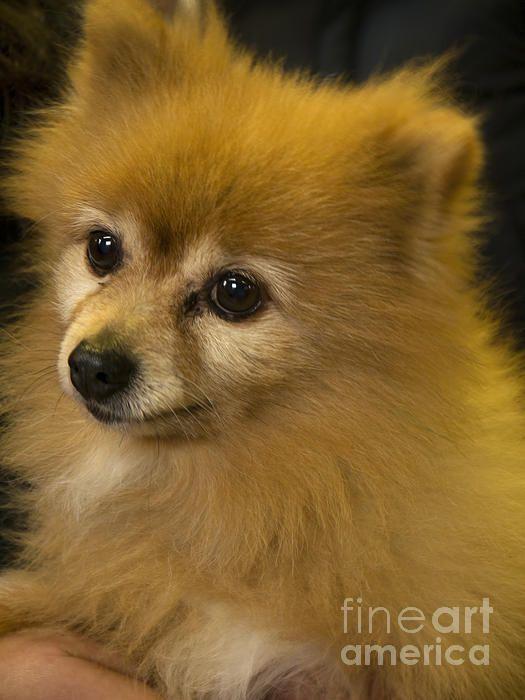 Sable Pomeranian Toy Breed Of Dog Pom Poms Pomeranian Toy Dog