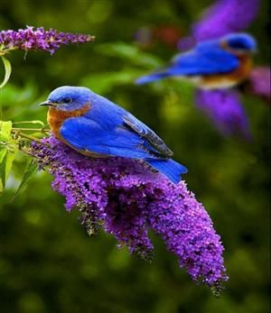 Bluebirds. No matter what you call it; The House, Eurasian, or English Sparrow are slowly decimating & replacing these beautiful birds.