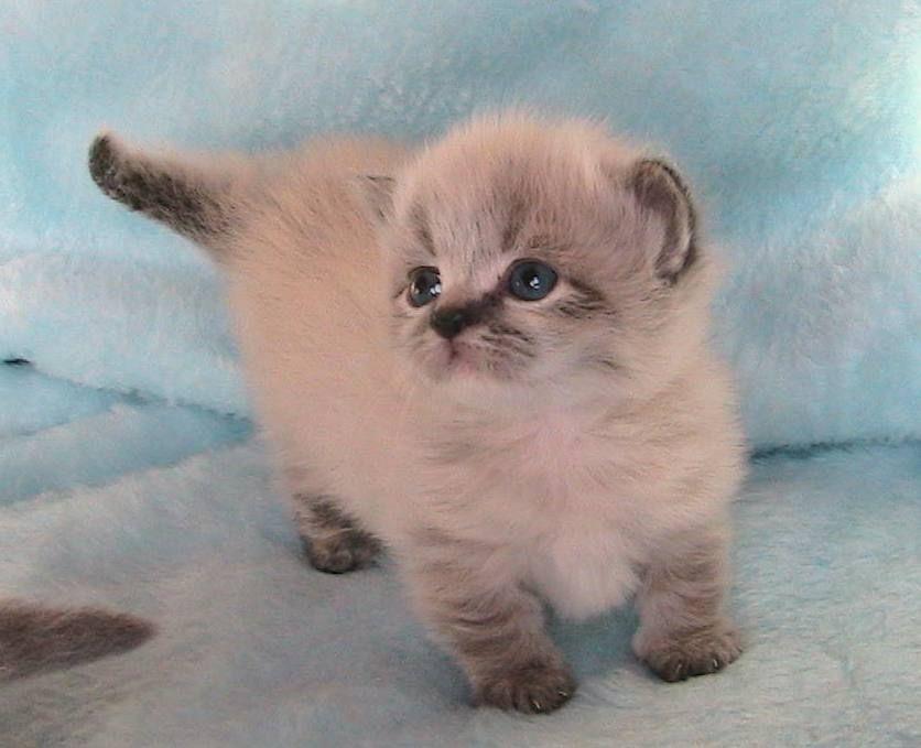 Persian Munchkin Cat Napoleon A Waddle Kitten Munchkincat Munchkin Cat Munchkin Kitten Animals