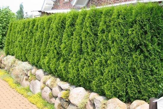 Thuja Green Giant Hedge