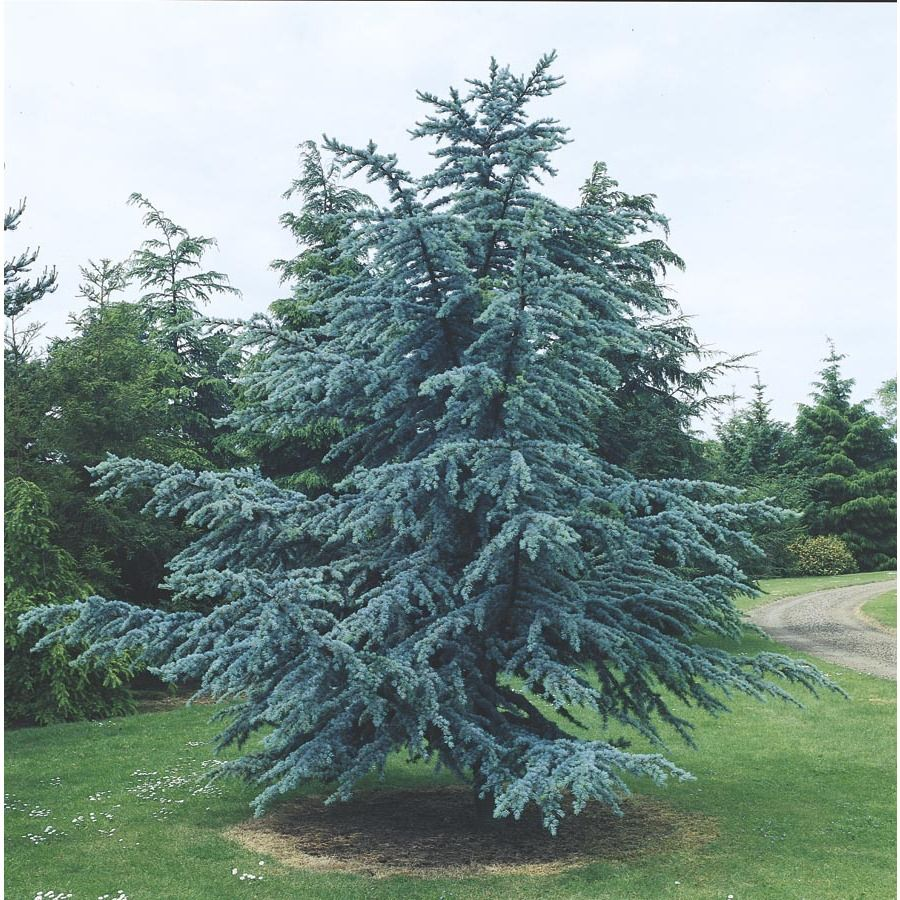 Shop 10.25Gallon Blue Atlas Cedar (L4673) at