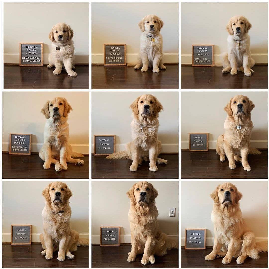 Cute Progression Goldenretriever Retriever Puppy Puppy Announcement Puppy Photography