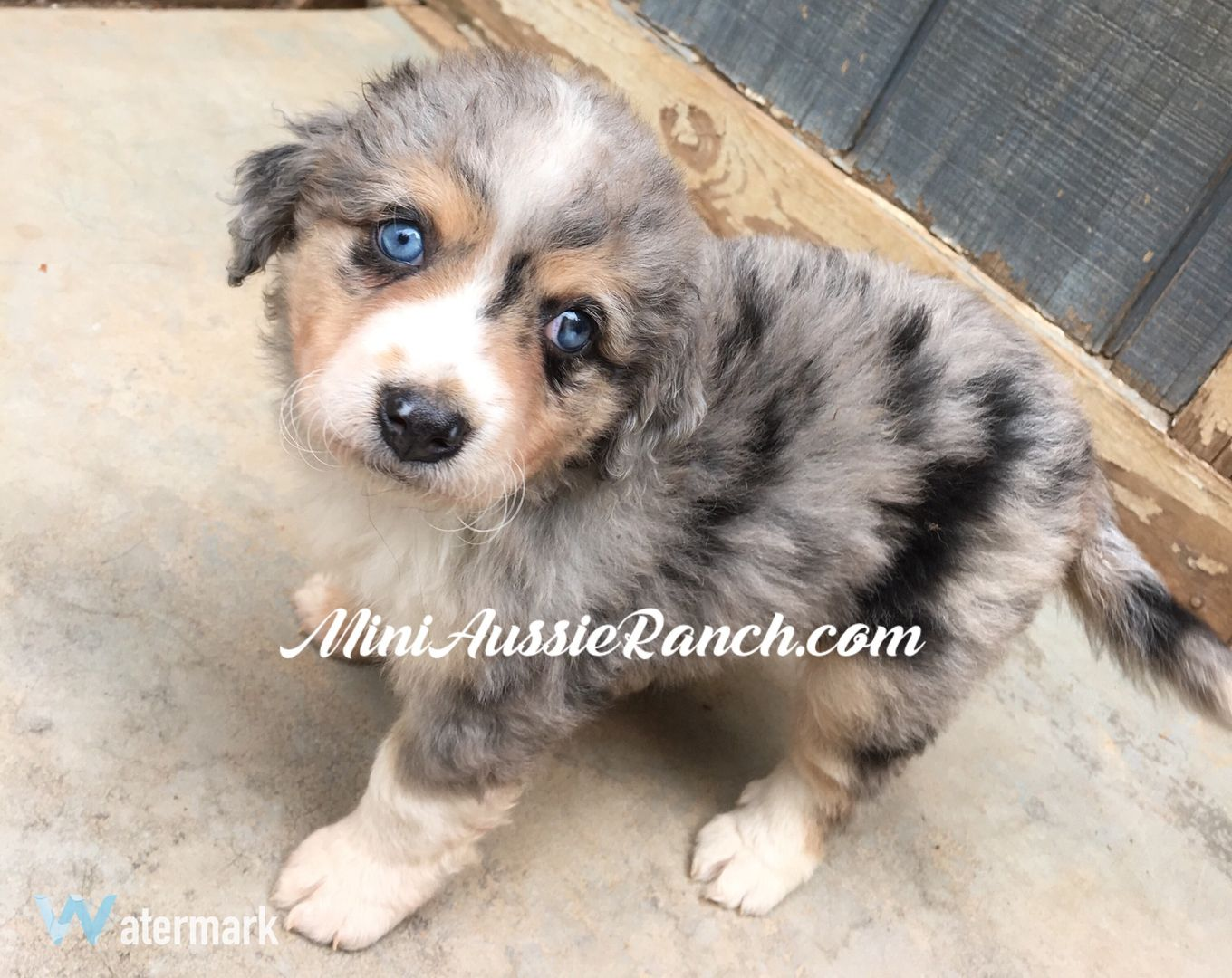 Miniature Australian Shepherd puppies for sale in