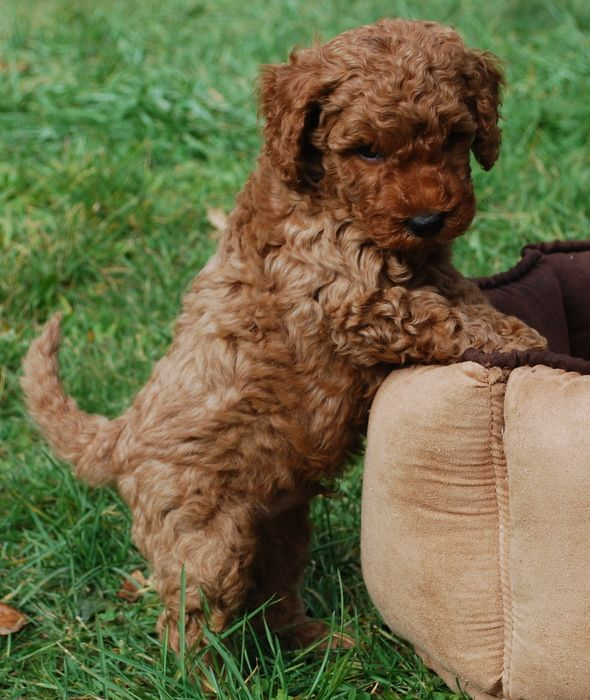 Labradoodle Puppies For Sale Labradoodle Puppy Labradoodle Puppies For Sale Labradoodle