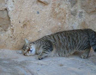 A lovely cat scratching his back at sunrise on Massada in Israel