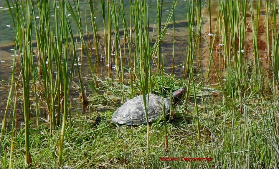 La tortue Trachémyde écrite, plus communément appelée tortue de « Floride » est une espèce exotique présente en France. Elle a été largement importée dans les années 70 comme animal de compagnie.