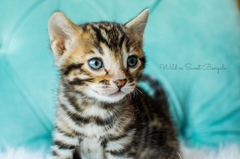 Bengal Kittens & Cats for Sale Near Me in 2020 Bengal