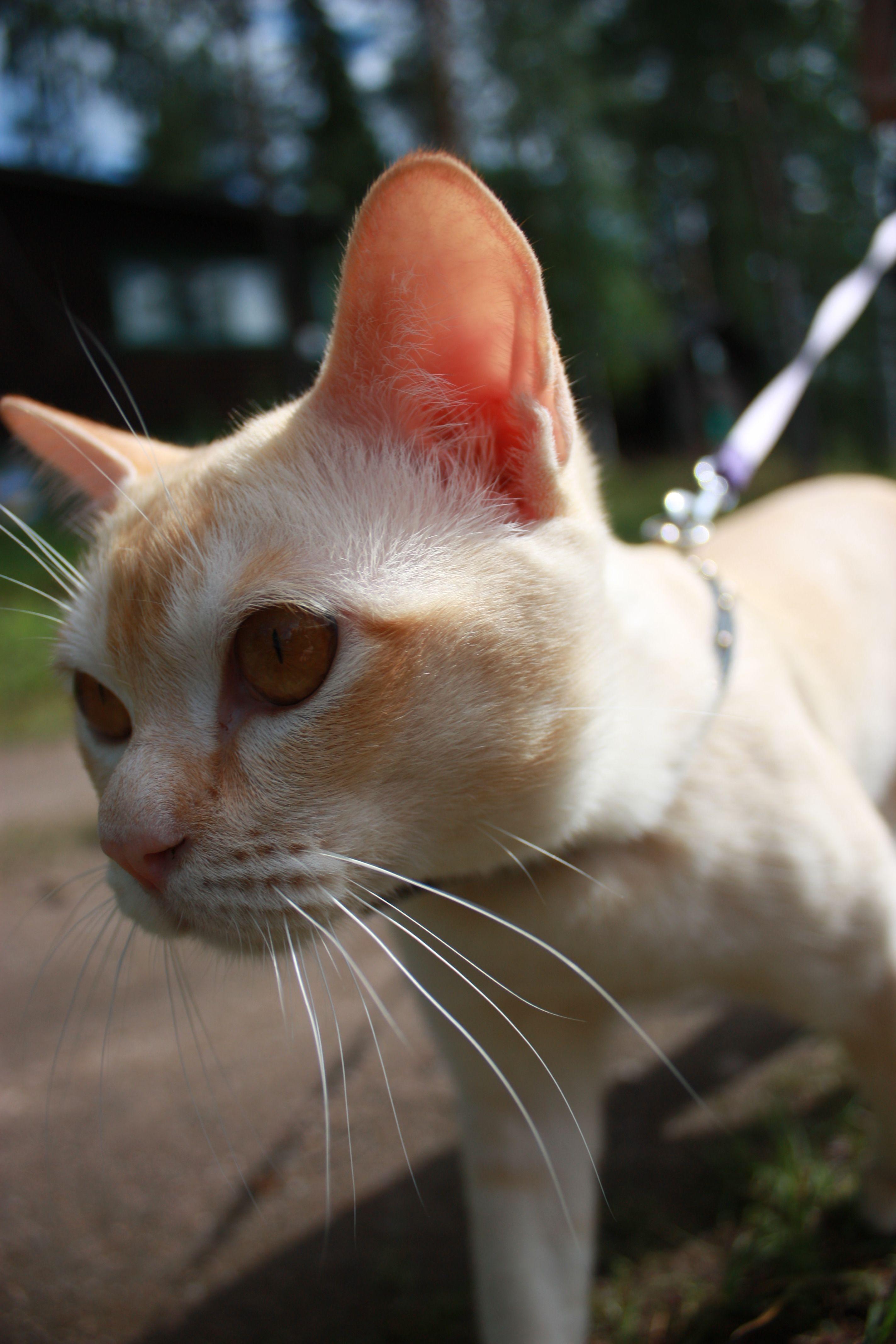 Burmese Cat Burmese Cat Tonkinese Cat Cats