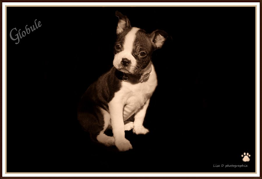 Globule At 7 Weeks Old From Beauceville Quebec Canada Photo