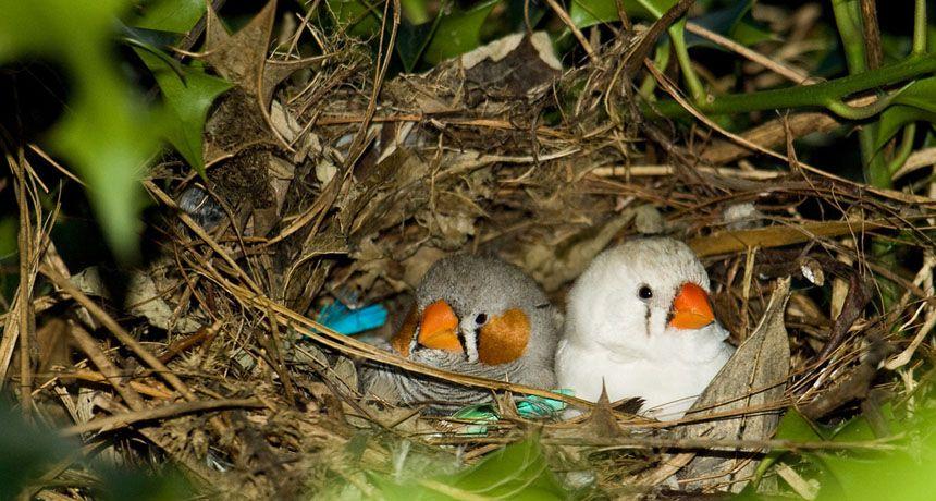 Zebra Finches Use Camouflage Zebra Finch Finch Bird Bird nest wallpaper hd