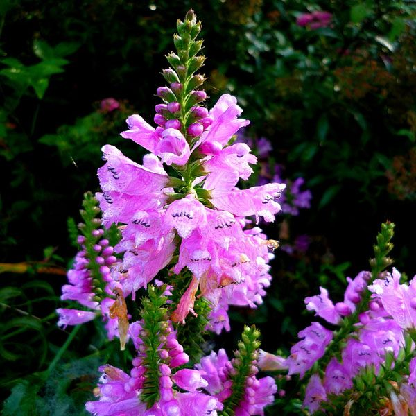 Veronica Longifolia Pink Shades Sdwell Clear Flowers Bloom In Tall Spikes
