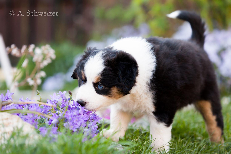 Lou Rey Mini Aussies Puppy Aussie Dogs Puppies Australian Shepherd