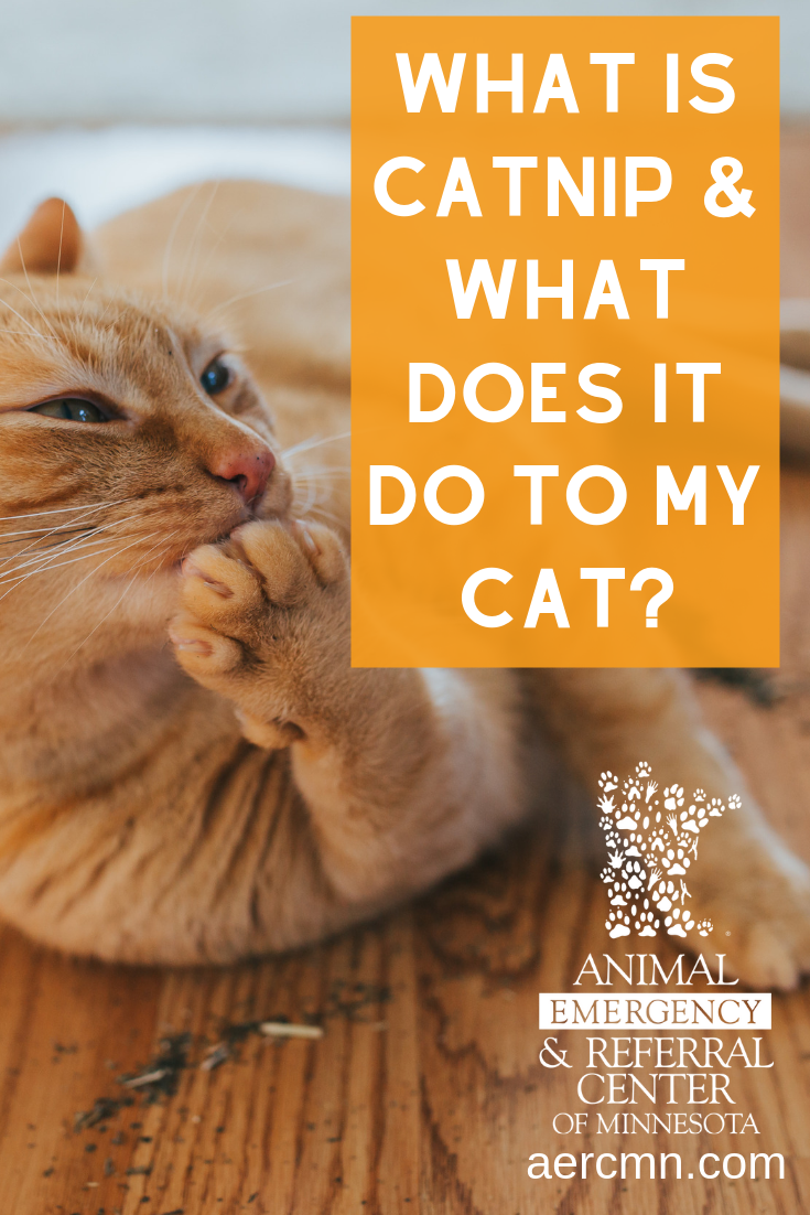 What is Catnip & What Does It Do to My Cat Cats, Happy