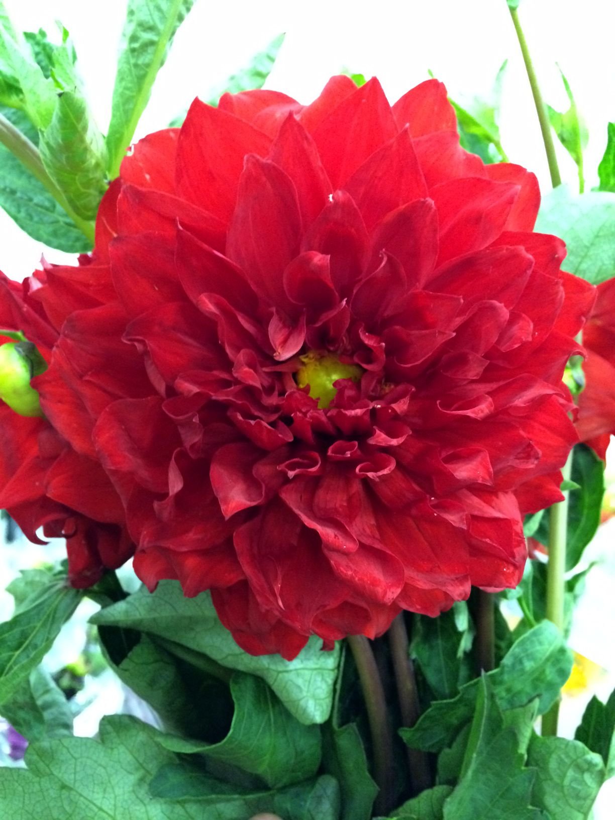 Huge dinner plate dahlias are in giant heads very pretty huge dinner plate dahlias are in izmirmasajfo