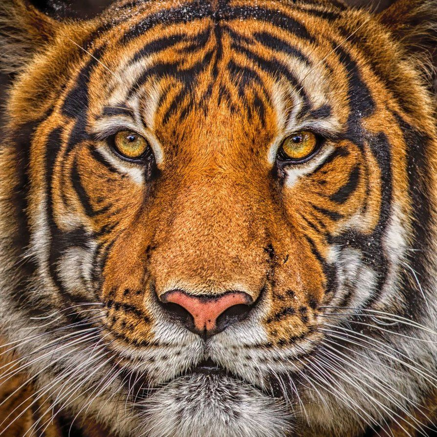 Tiger Portrait by 904PhotoPhactory on deviantART