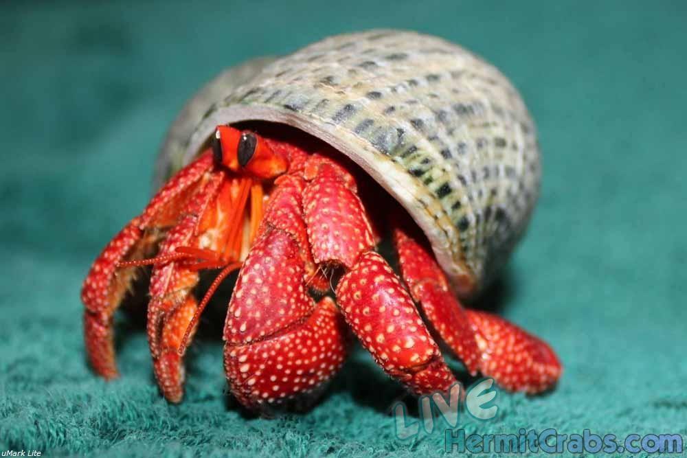 Pre-Order Strawberry Hermit Crab (Coenobita prelates) : hermit crabs : Pinterest : Crab food ...