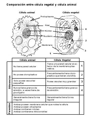 cuadro comparativo entre celula animal y vegetal  Buscar con